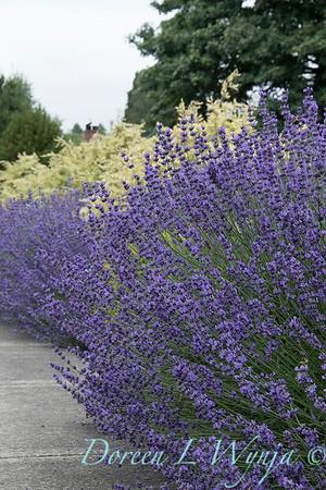 Lavender - Cedrus deodara 'Snow Sprite'_7188