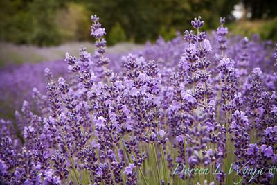 Royal Velvet Lavender_004_20x