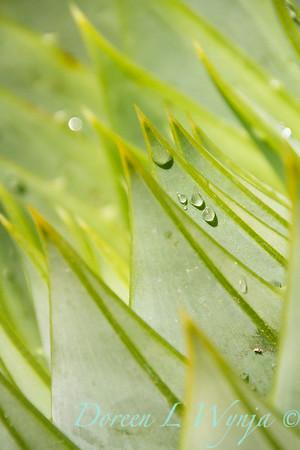 Aloe polyphylla_0850