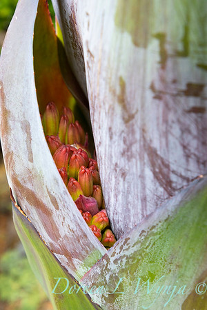 Agave montana pocket of flower heads_3814