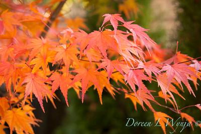 Acer palmatum_065