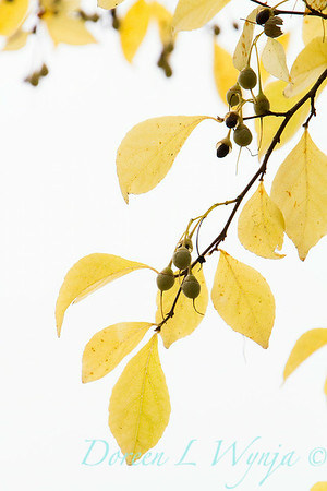 Styrax japonica_054