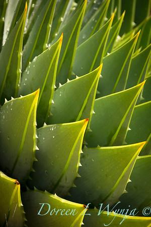 Aloe polyphylla_0852