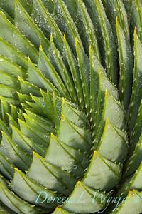 Aloe polyphylla_0807