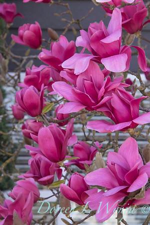 Magnolia x 'Vulcan'_336