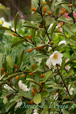 Magnolia laevifolia - Michelia yunnanensis flowers_7806