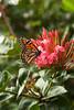 Butterfly; Hawaii; Ixora; Ixora coccinea; Monarch butterfly
