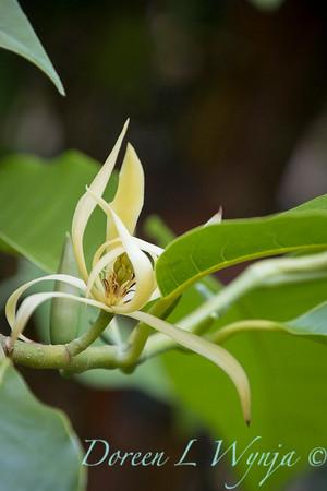 Artist; Joy Perfume Tree; Magnolia; Magnolia x alba; Marcia Donahue; Pak-Ian; White Champak; White Sandalwood