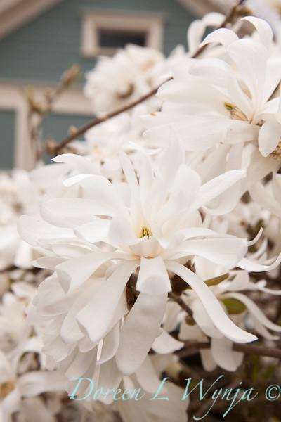 Magnolia stellata_023