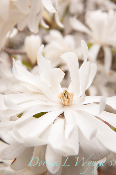 Magnolia stellata_027