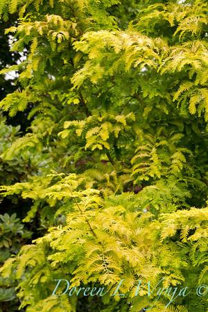 6145 Metasequoia glyptostroboides_013