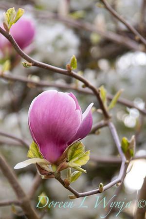 Magnolia Rustica Rubra_004
