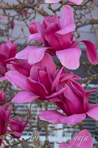 Magnolia x 'Vulcan'_340