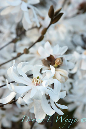 Magnolia stellata Royal Star_052