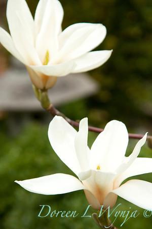 Magnolia veitchii Columbus_010