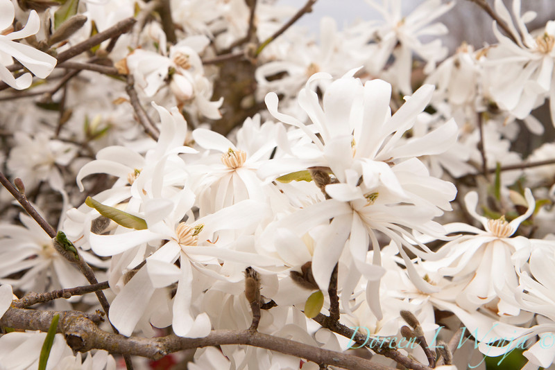Magnolia stellata_037
