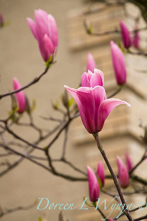 Magnolia liliiflora Nigra_5212