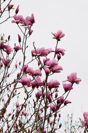 Magnolia soulangiana_008