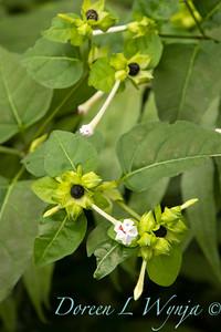 Mirabilis longiflora_0346