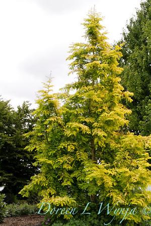 6145 Metasequoia glyptostroboides_012