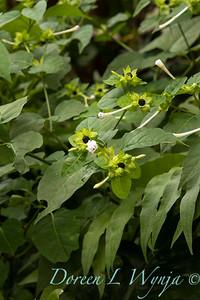 Mirabilis longiflora_0337