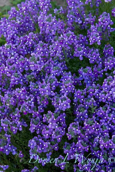 Nemesia Aromatica Royal Blue_007