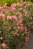 Nerium oleander_1900