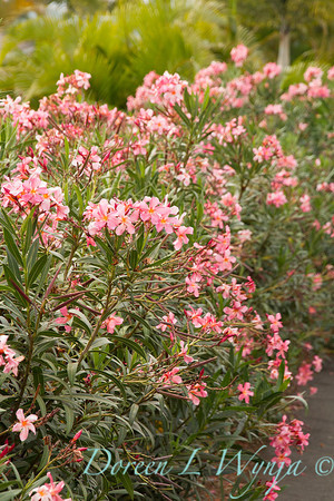 Nerium oleander_1901