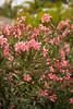 Nerium oleander_1905