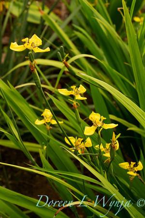 Neomarica longifolia_004
