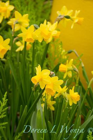 Narcissus Tete a Tete_1855