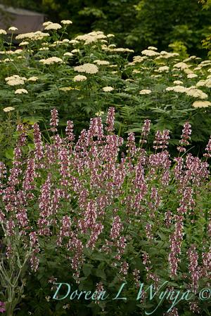Nepeta grandiflora 'Dawn to Dusk'_8285