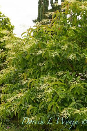 Oxydendrum arboretum_029