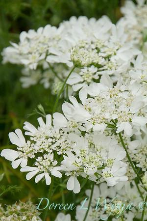 Orlaya grandiflora 'White Lace' - O  'Minoan Lace'_1201