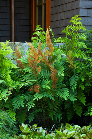 Osmunda regalis Purpurascens_003M