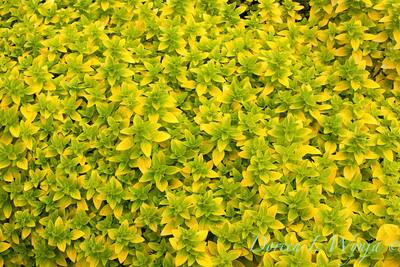 Origanum vulgare Gold Tip_001