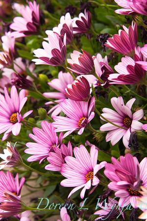Osteospermum_Pink_006