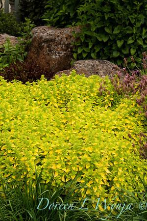 Origanum vulgare Gold Tip_004