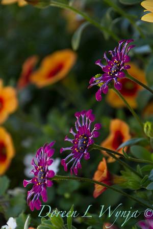 African Daisy; Osteospermum; spoon daisy; Whirligig