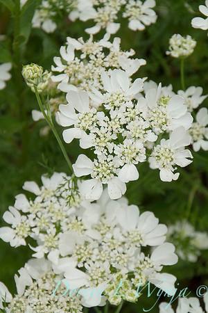 Orlaya grandiflora 'White Lace' - O  'Minoan Lace'_1199