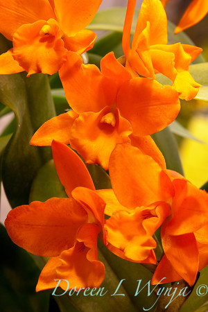 Orchid Fuchs Orange Nugget_001