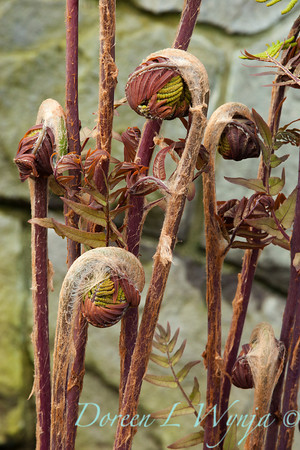 Osmunda regalis Purpurascens_014