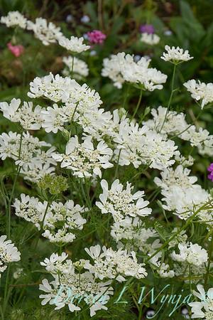Orlaya grandiflora 'White Lace' - O  'Minoan Lace'_1202