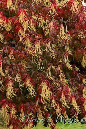 Oxydendrum arboreum_002