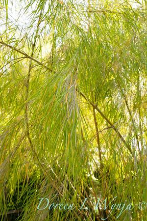 Otatea acuminata aztecorum_011