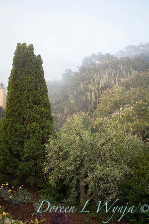 Olea and Thuja occidentalis 'Smaragd' Emerald in the fog_2220