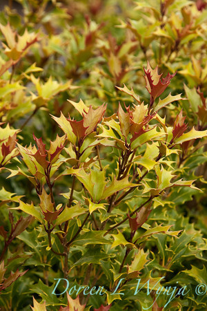 Osmanthus heterophyllus_005