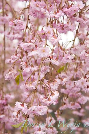 Prunus Pleno-rosea_010