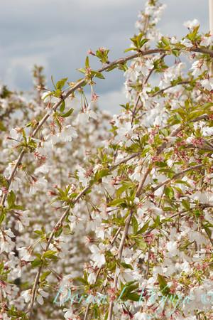 6693 Prunus x 'Snowfozam'_035