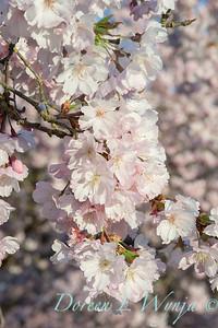 Prunus serrulata Amanogawa_2541
